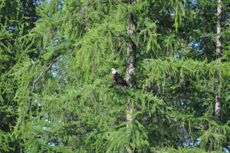 Bald eagle visiting