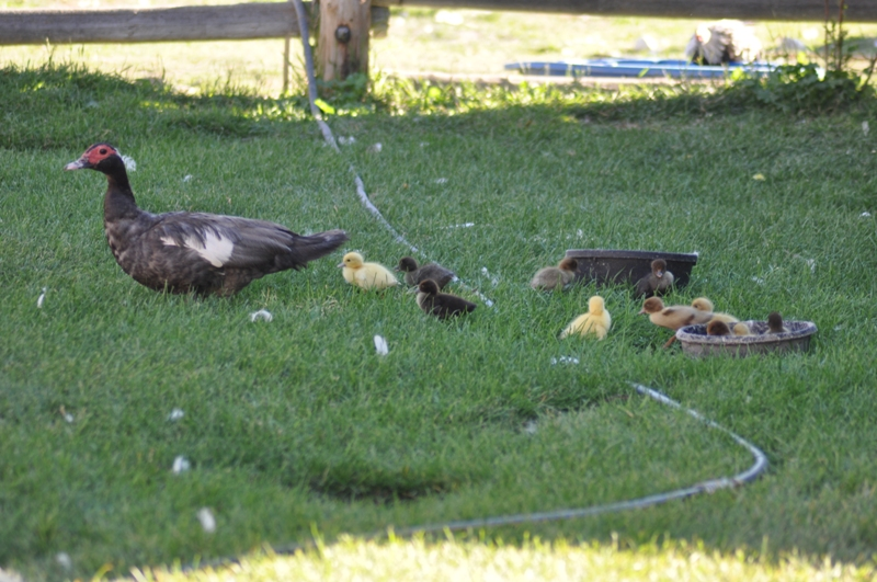 Muscovy duck with brood